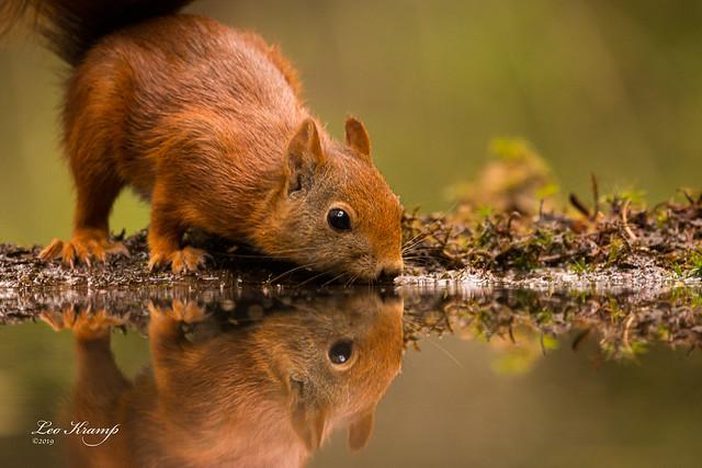 Squirrel | Eekhoorn