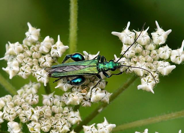 Thick-legged Flower Beetle --- Oedemera nobilis