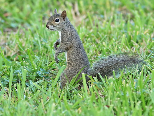 Gray Squirrel 20190630