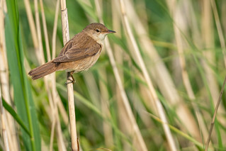 Reed Warbler... | by Unintended_Keith
