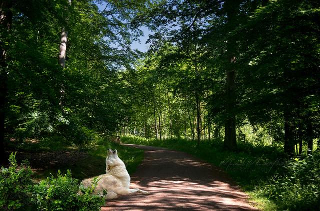 A natural park for wolves
