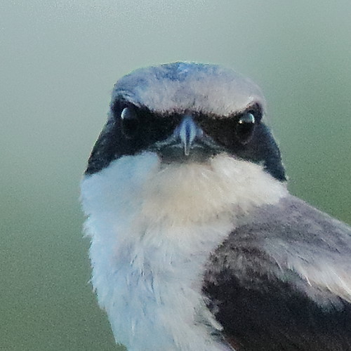 Loggerhead Shrike portrait 02-20190702