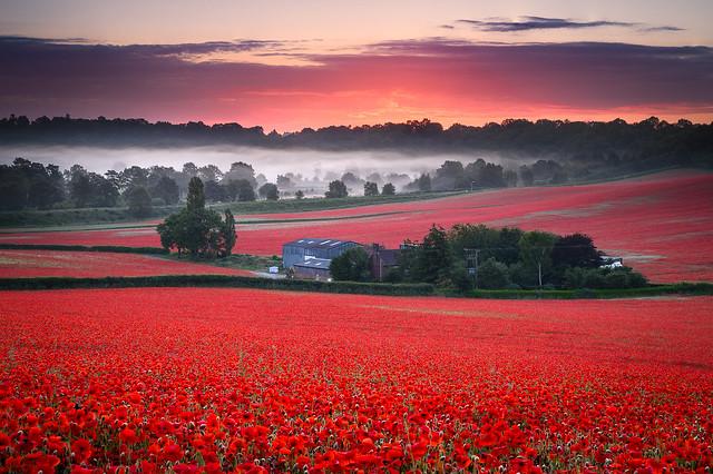 Bewdley Poppies I