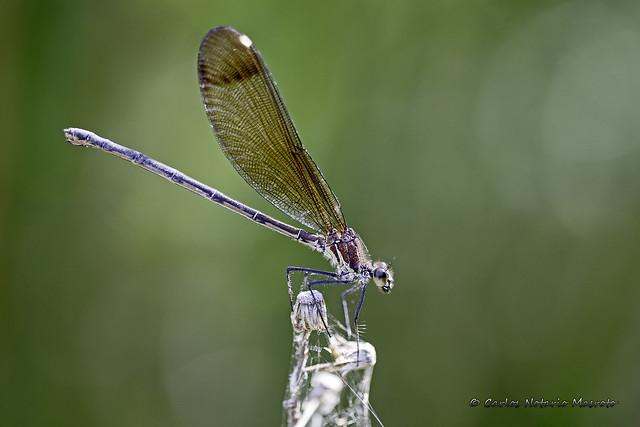 Calopteryx haemorrhoidalis ♀    (3-393A3331_20190629_01f_2048px)