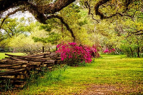 photo southcarolina charleston magnoliagardens fence splitrailfence azalea tree topazadjust topazadjustai artsy hdrish garden azaleas flowers oaktree oak spring magnoliaplantation