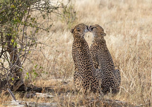 Cheetah Bonding - Acinonyx jubatus