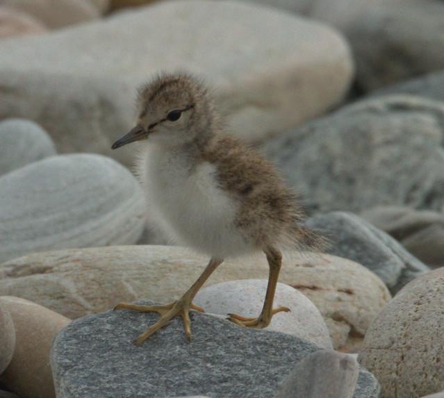 Common Sandpiper (Chick)