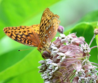 Fritillary Butterfly, Valley Forge National Park, PA USA