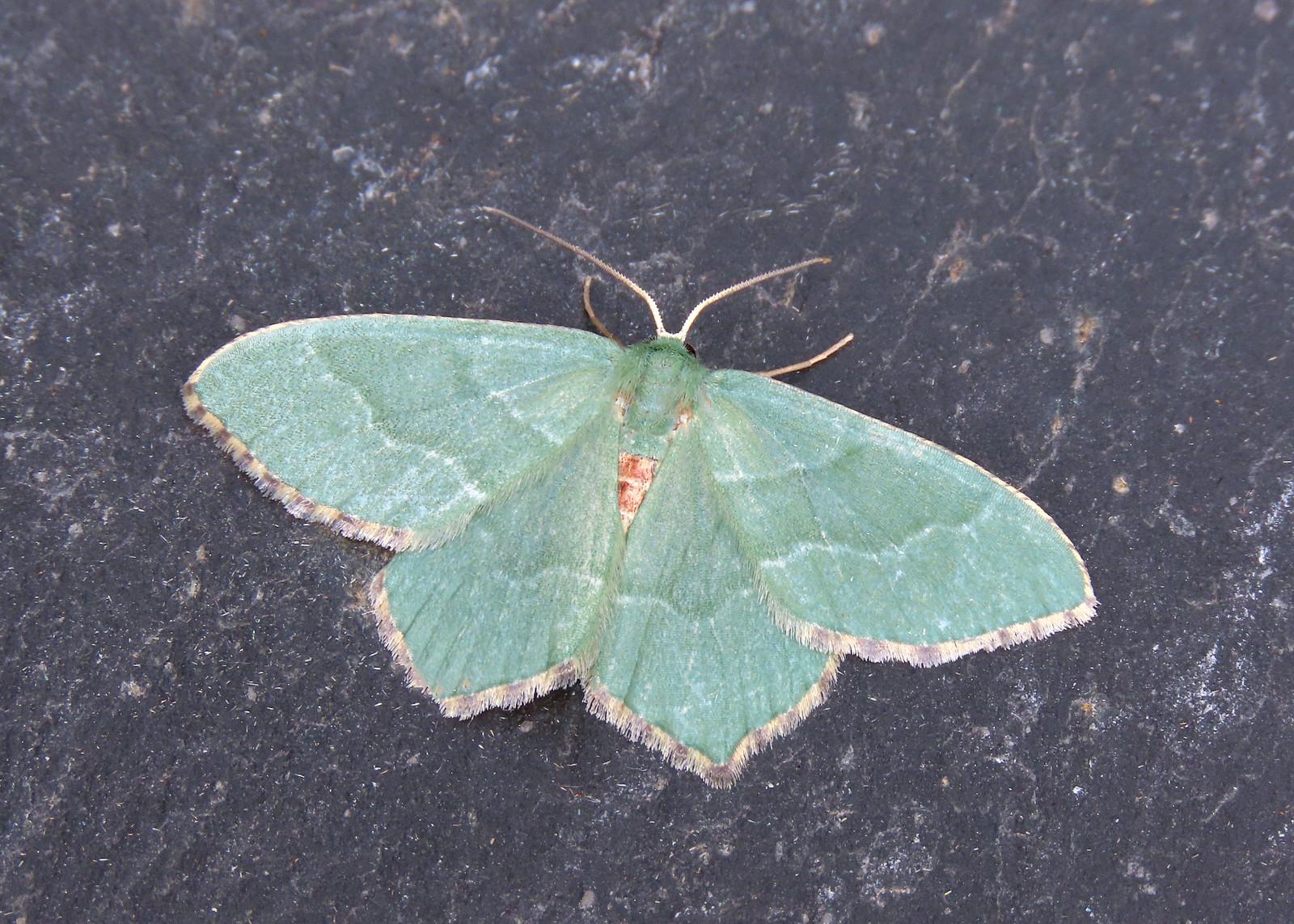 70.305 Common Emerald - Hemithea aestivaria