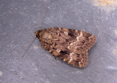 73.063 Svensson's Copper Underwing - Amphipyra berbera