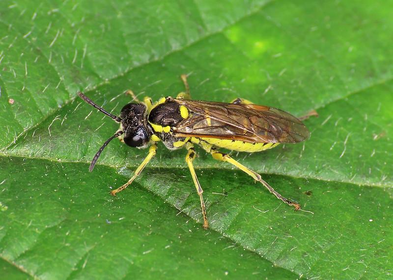 Tenthredo arcuata/brevicornis