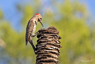 Northern Flicker, Yellow-shafted (Colaptes auratus) | by Frank Shufelt