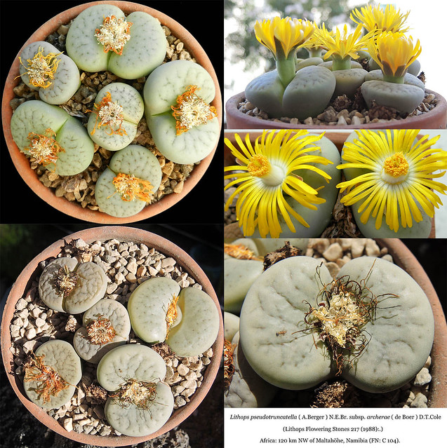Lithops pseudotruncatella subsp. archerae, C 104. (collage)