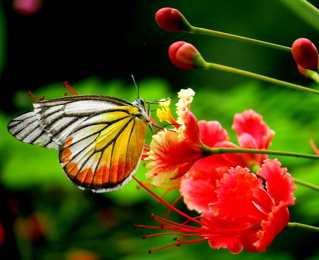 Common Jezebel butterfly (Delias eucharis), with Bird of paradise (Caesalpinia pulcherrima) flowers, Siem Reap, Cambodia, March 2018