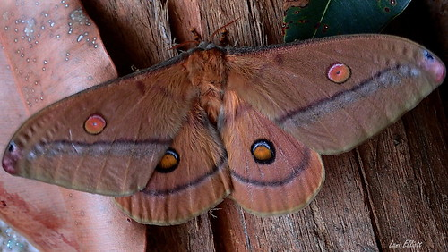 The Beautiful Eye Spots of a Helena Gum Moth