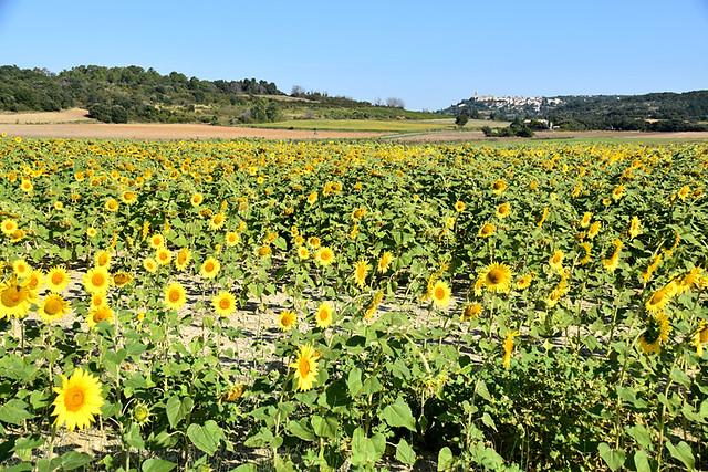 Sunflowers in Drôme Provençale