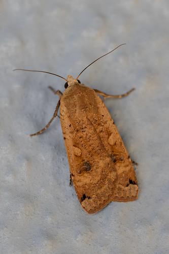 brown spot pinion