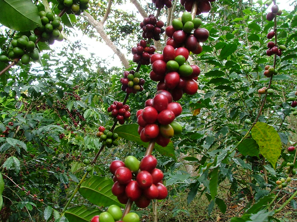 Red Bourbon coffee tree