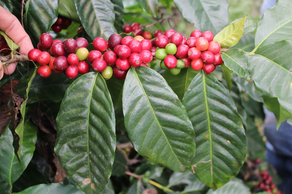 catuai coffee