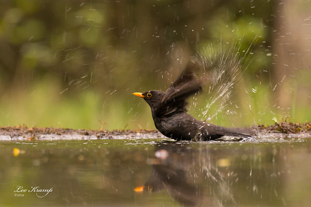 Common Blackbird | Merel