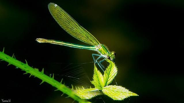 Dragonfly - 7023