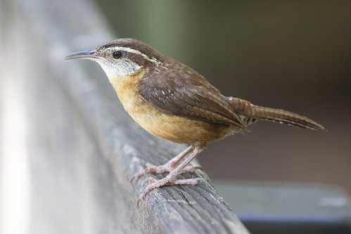 Carolina Wren | by DFChurch