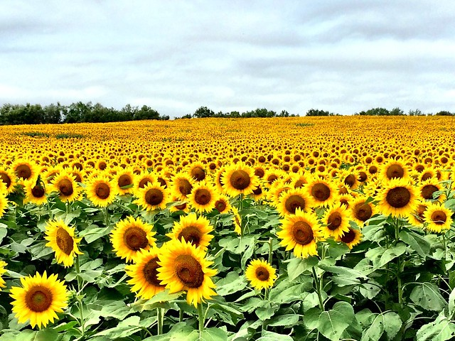 Sunflowers in Kansas