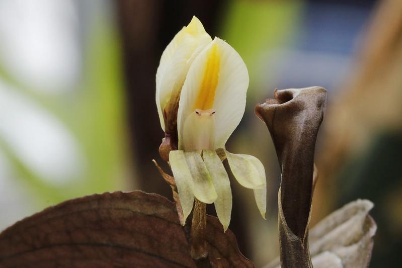Nephelaphyllum pulchrum  ネフェラフィルム・プルクルム