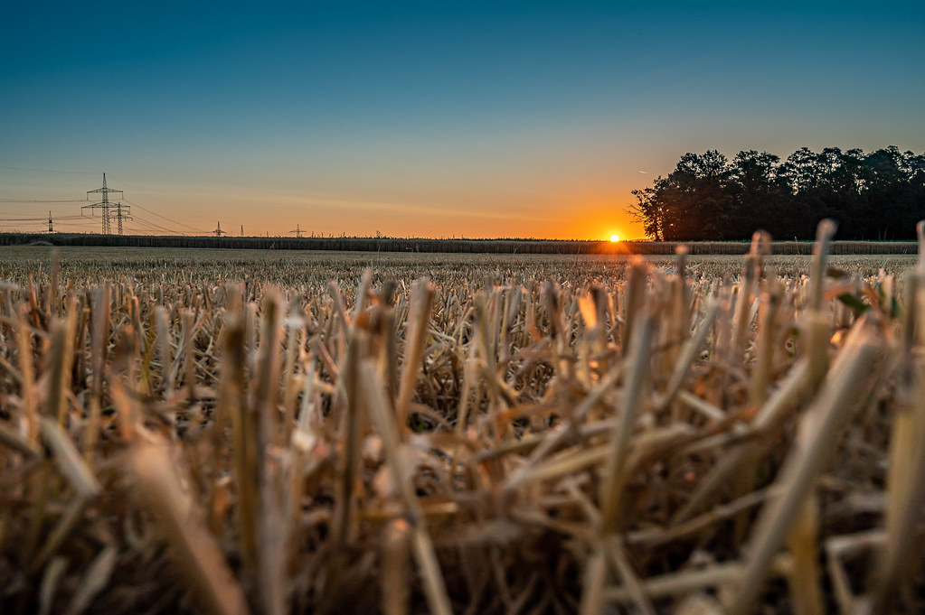 Geerntetes Kornfeld im Sonnenaufgang 0555