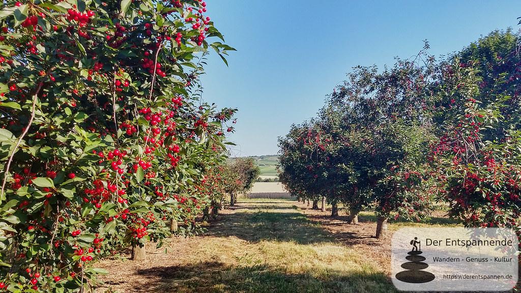 Kirschbäume im Selztal
