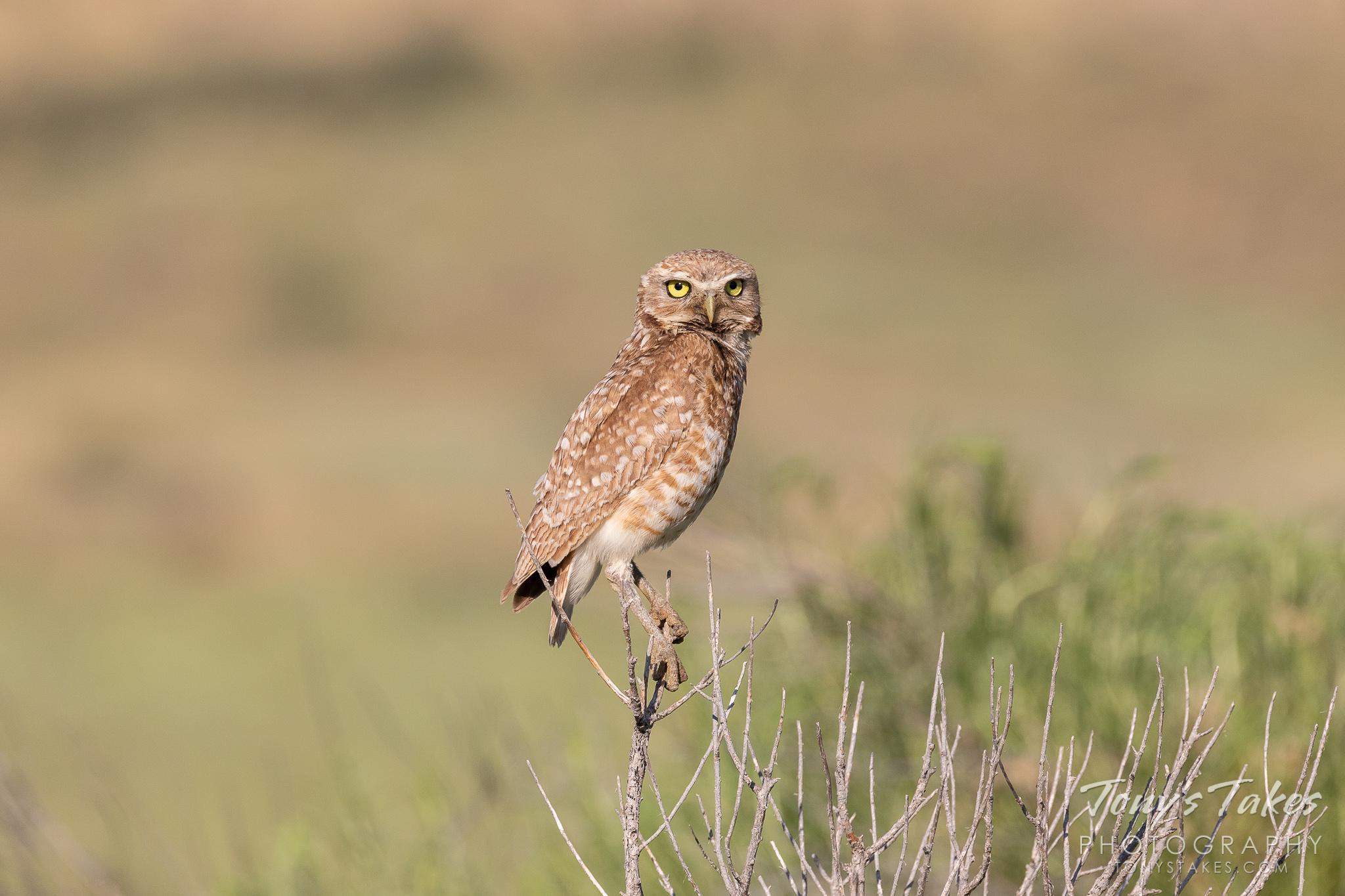 Burrowing owl taking a break on a summer's morning