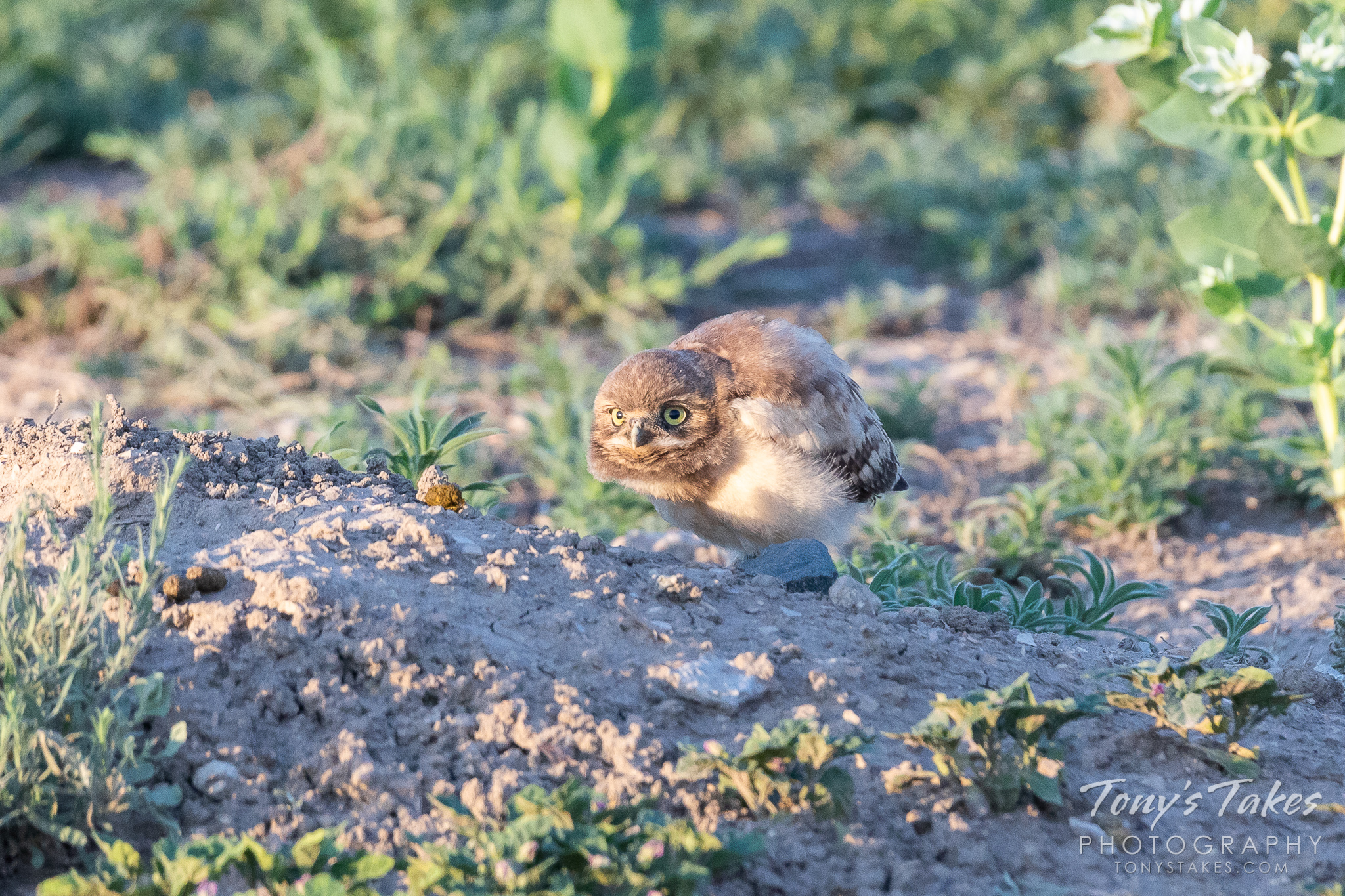 A burrowing owl owlet tries to keep low while it watches the gathered photographers. (© Tony's Takes)