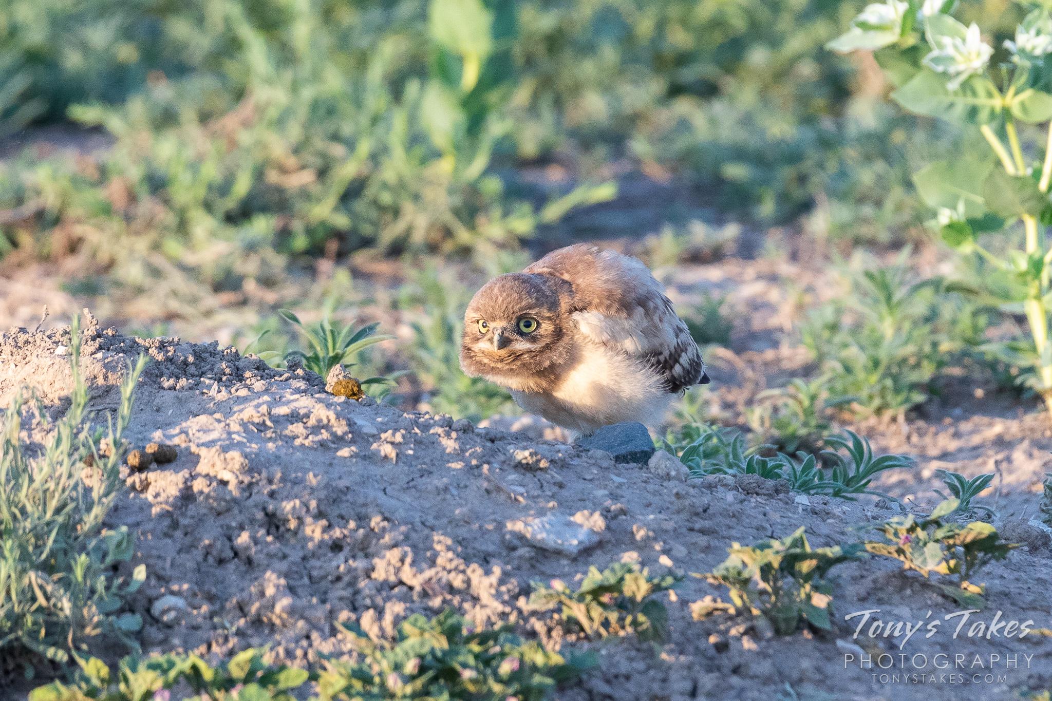 Burrowing owl owlet hunkers down, keeps close watch