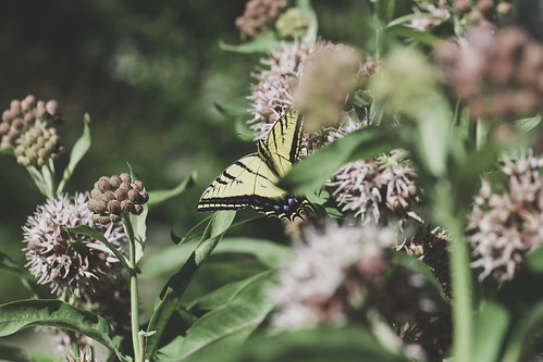 2019 7 2 - Milkweed and Swallowtail - 9S3A8786 | by Rags Edward