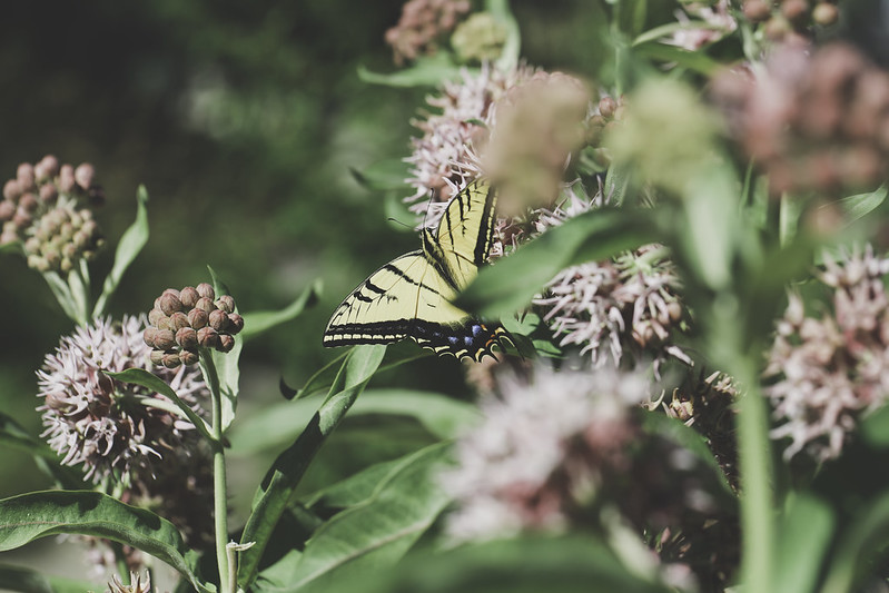 2019 7 2 - Milkweed and Swallowtail - 9S3A8786