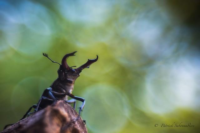 Lucane cerf-volant - Lucanus cervus
