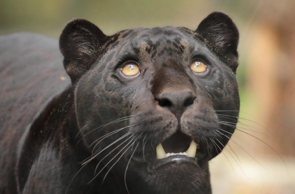 jaguar Leya Artis 094A1200