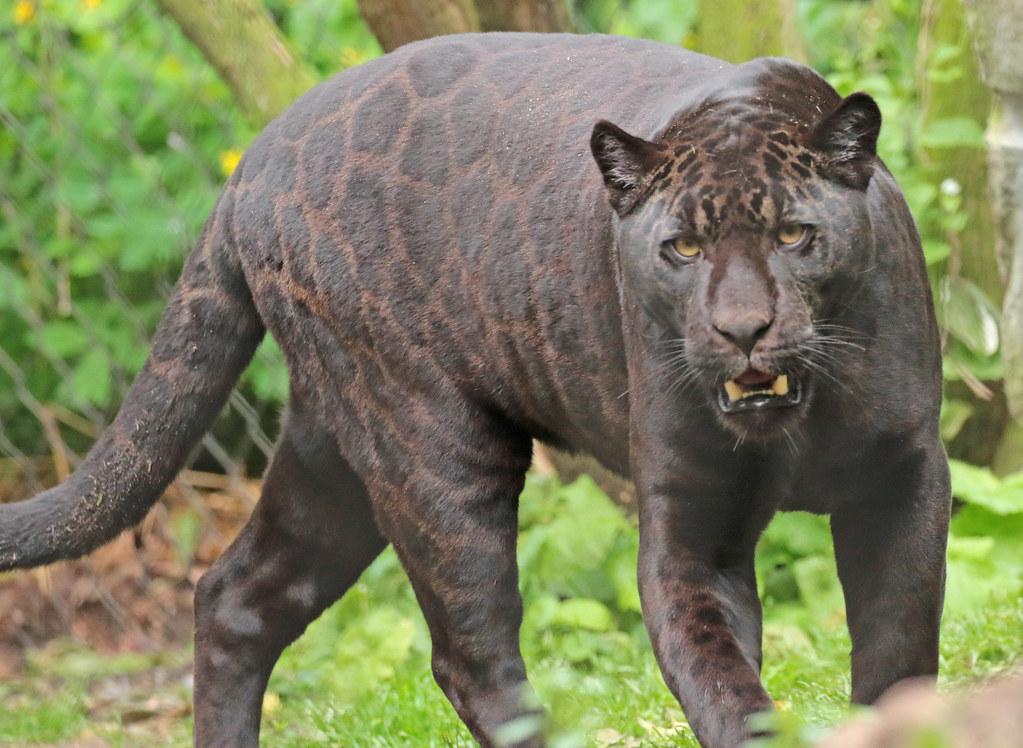 jaguar Leya Artis 094A1108