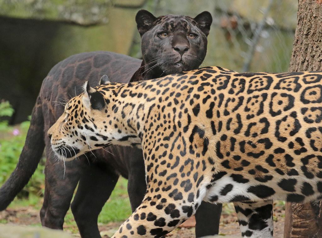 jaguar Rica and Leya Artis 094A1221