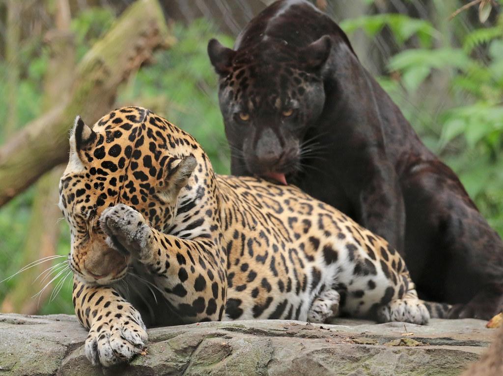 jaguar Rica and Leya Artis 094A1291