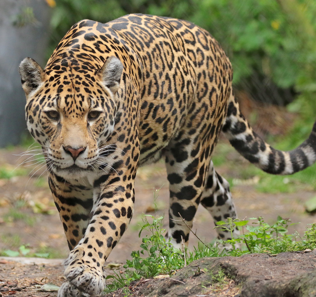 Jaguar Rica Artis 094A1092