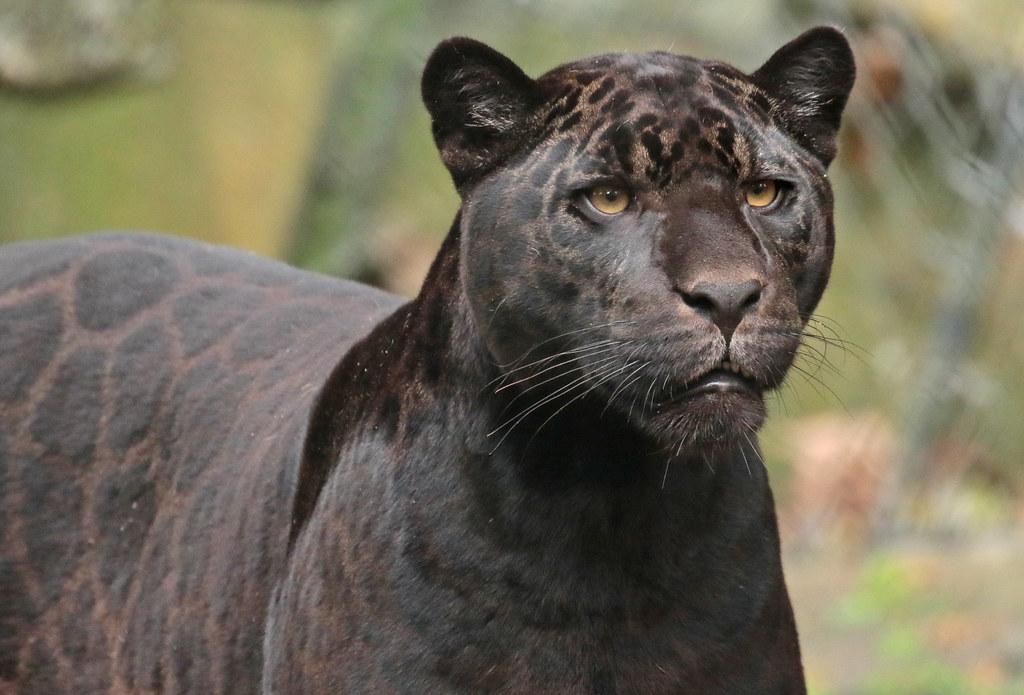jaguar Leya Artis 094A1228