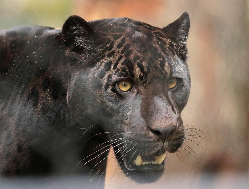 jaguar Leya Artis 094A1210