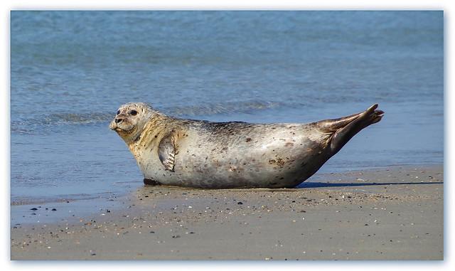 Gray seal - sunbathing
