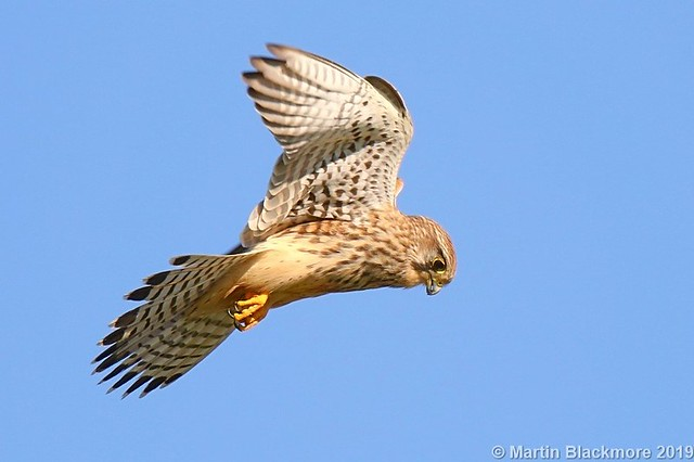 Kestrel hovering 125305