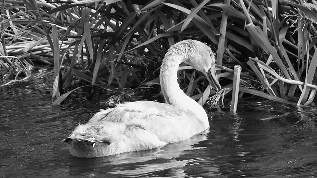 The Swan Family 03