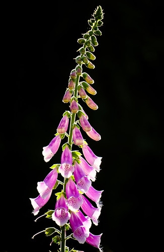 Foxglove, backlit by the setting sun