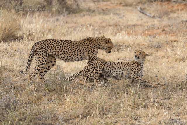 Cheetahs - Acinonyx jubatus
