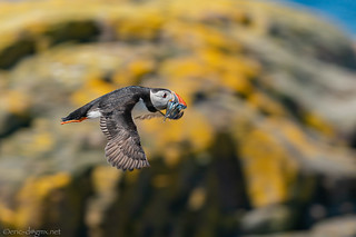Puffin flying around the world | by eric-d at gmx.net