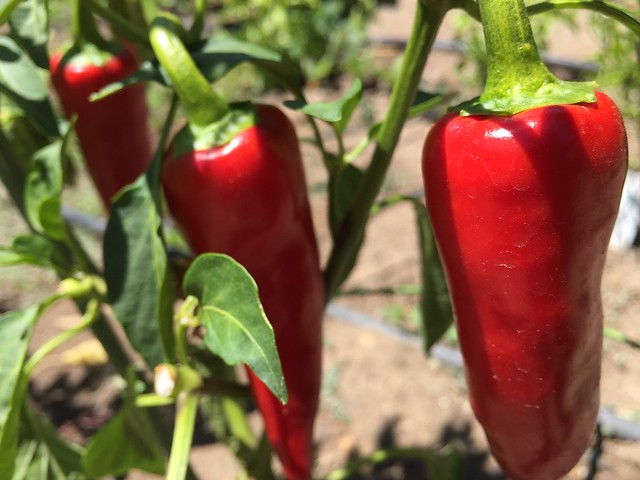 Fresno peppers